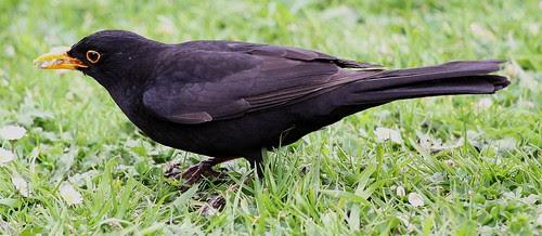 Blackbird Collecting Seeds