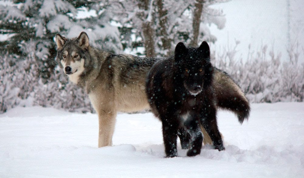 Perros Lobo Salvajes Imágenes Y Fotos