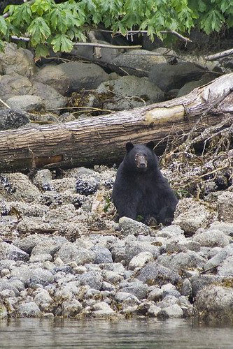 black bear on the beach