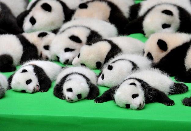 Hello. Here are 23 baby pandas.
