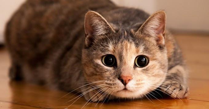 Datos poco conocidos de los gatos