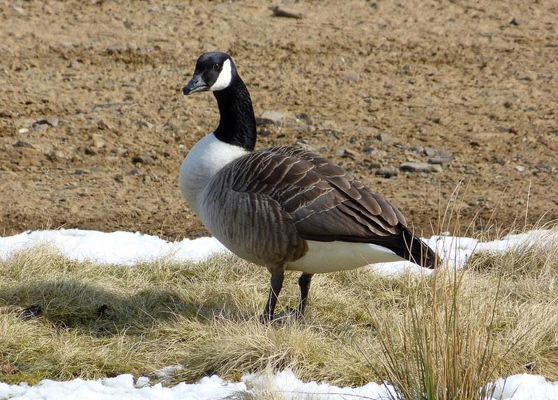 29578 - Canada Goose, Howden Reservoir