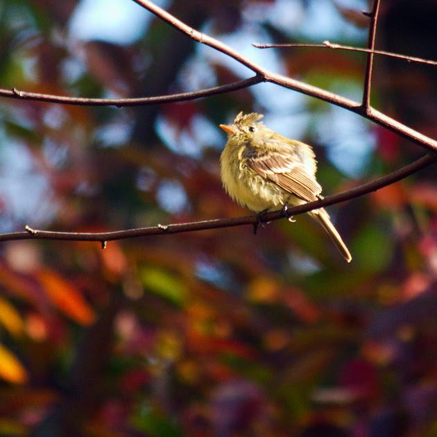 Ed Gaillard: birds &emdash; Western Flycatcher, Central Park