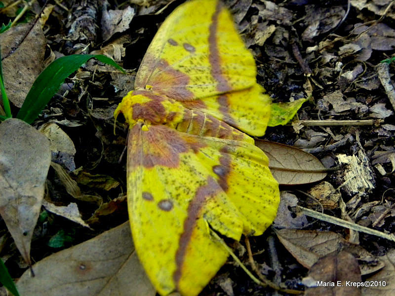 Imperial Moth