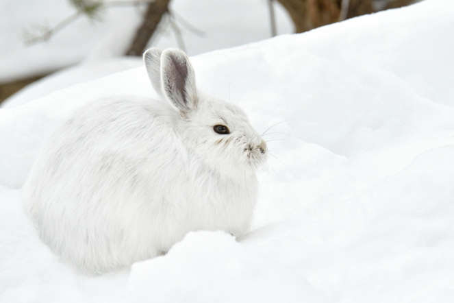 The physical traits of short ears and thick white fur help them to survive in the harsh, frozen locales.