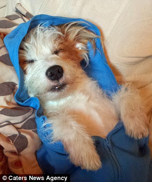 Ginny the jack russell enjoys dressing up in clothes