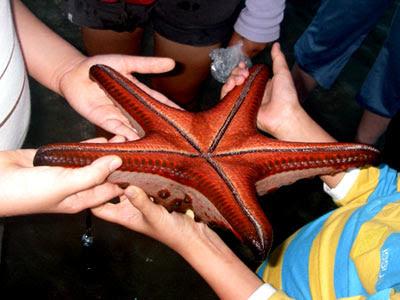 Underside of knobbly sea star, Protoreaster nodosus