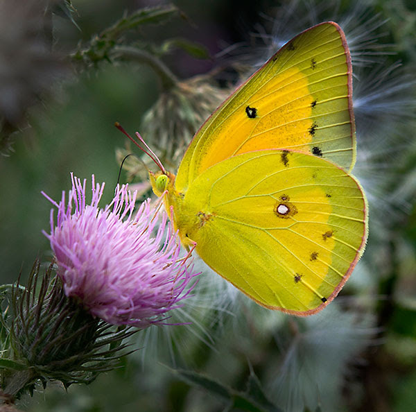Orange sulphur, also known as the alfalfa                     butterfly