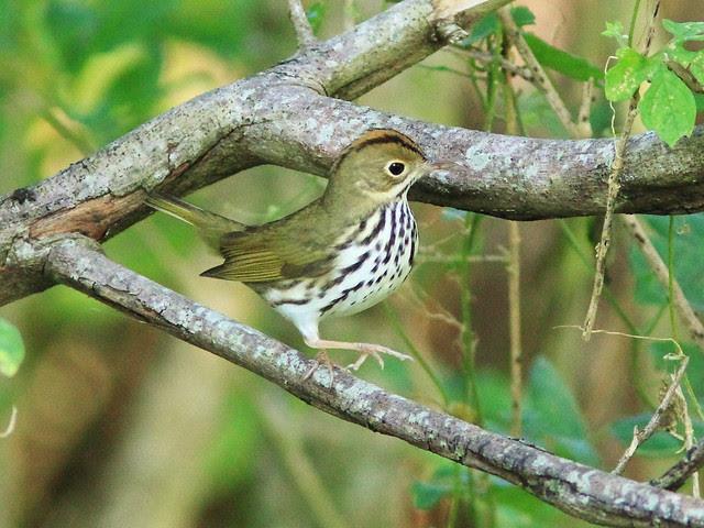 Ovenbird 2-20130922