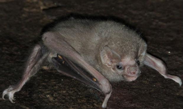 morcego-vampiro-das-pernas-peludos costumava se alimentar do sangue de aves / Foto: Enrico Bernard/Cortesia