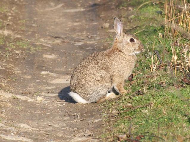 DSC_3682 Rabbit