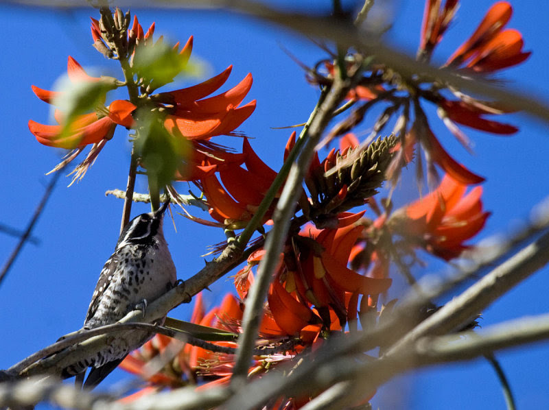 Nuttall's Woodpecker in Coral Tree