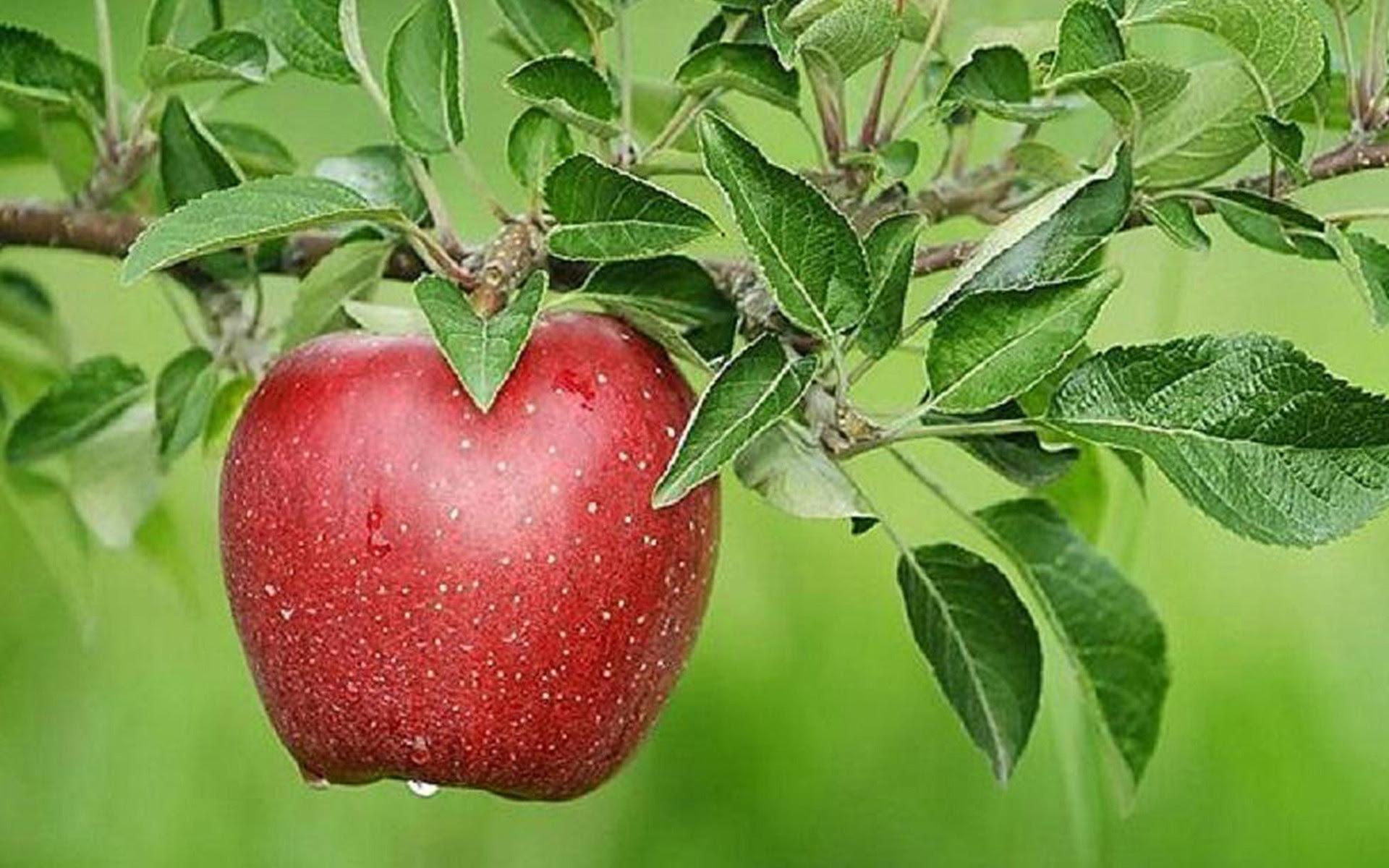 300 Wallpaper Apple Tree HD