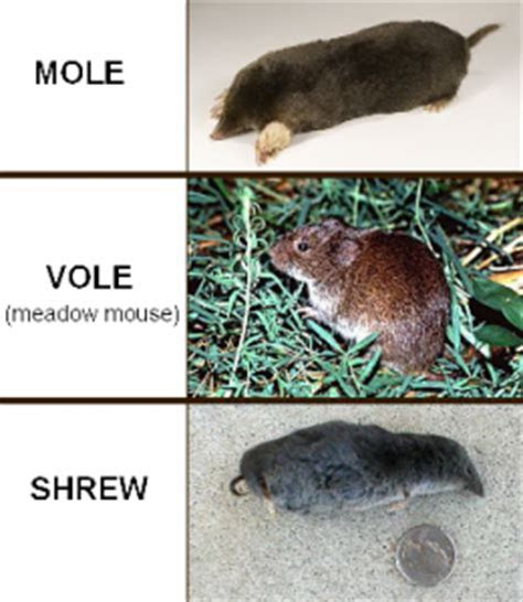Image Gallery shrew mouse