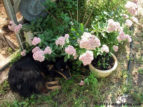 Lucky Buddy Bear under a pot of Sedum Autumn Joy