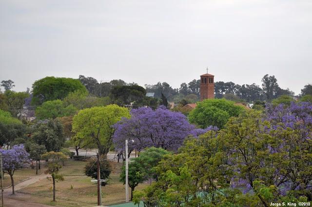 Jacarandá IV - Jacaranda mimosifolia