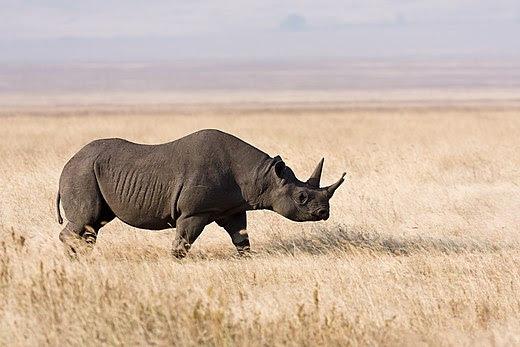 Ngorongoro Spitzmaulnashorn.jpg