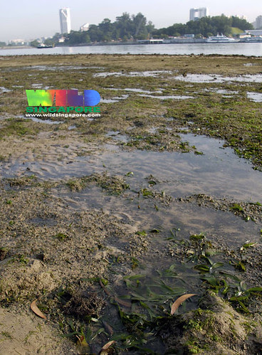 Sickle seagrass (Thalassia hemprichii)