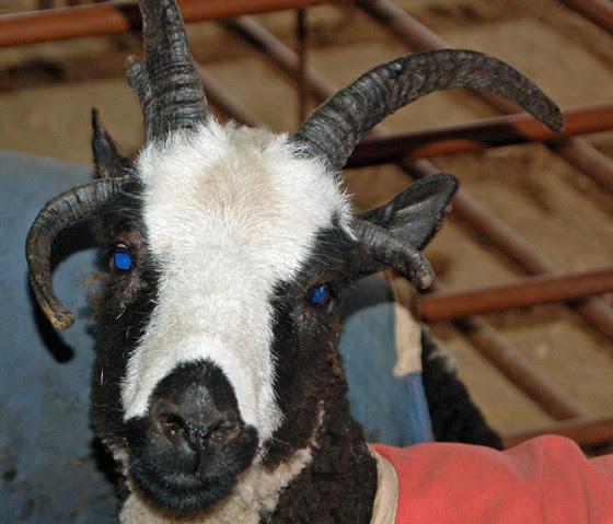 6jacobs-sheep.jpg