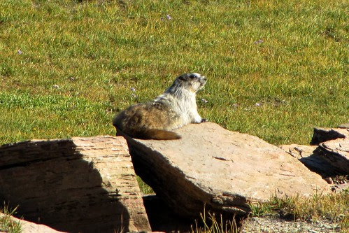 IMG_5806_Marmot_on_Hidden_Lake_Trail_Glacier_NP
