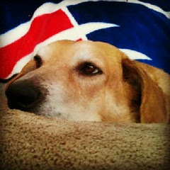 Lazy Sunday... Sophie style! #dogs #hound #adoptdontshop #rescue #dogstagram