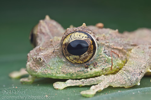 Mossy Tree Frog (Philautus macroscelis) IMG_1343 copy