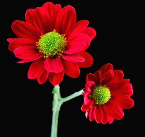 red daisy flowers with green center Hi Res 720p HD