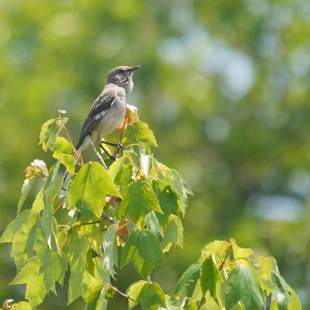 Ed Gaillard: birds &emdash; Mockingbird singing, Governor's Island