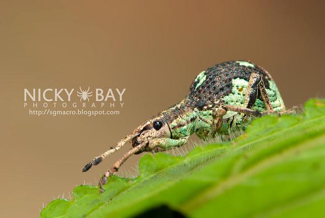 Weevil (Curculionidae) - DSC_2673
