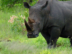 """Rhinocéros noir , un  des  """"big five &quo..."""