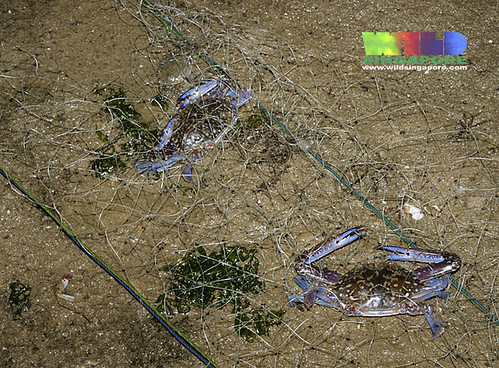 Flower crabs trapped in driftnet
