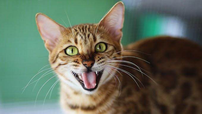 ¿Qué quiere decir mi gato cuando maulla?