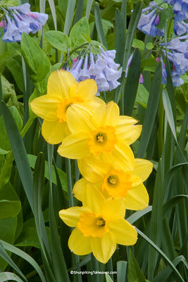 Daffodils and Virginia Bluebells, Dane County, Wisconsin