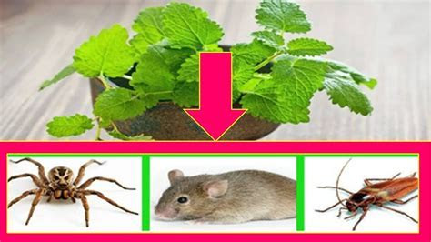 How to Get Rid of Spiders, Cockroaches, Mice and Other Insects in Your Home Naturally ????   YouTube