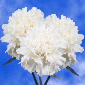 Best White Carnations   Global Rose