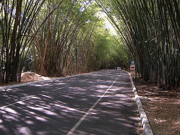 Bambuzal fica na área de acesso ao aeroporto de Salvador, na Bahia (Foto: Reprodução/ TV Bahia)