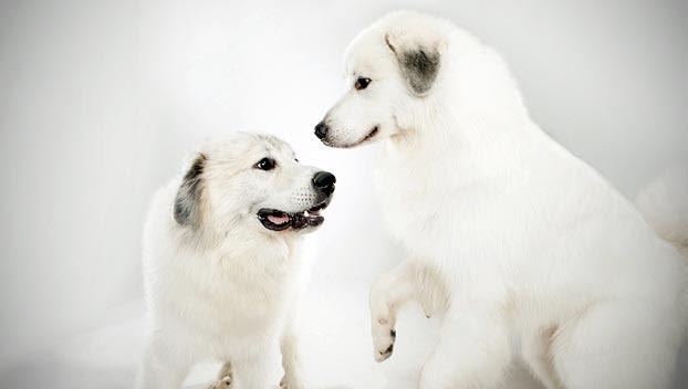 Great Pyrenees : Dog Breed Selector : Animal Planet