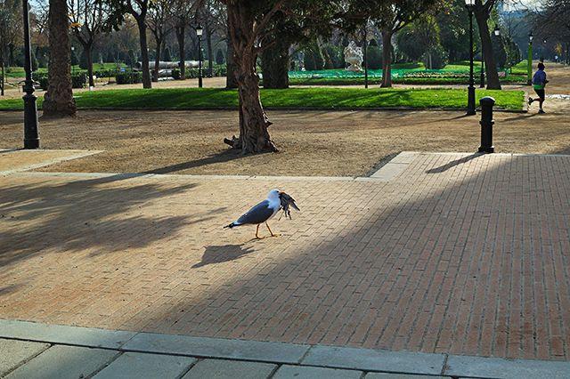 Seagull holding dead pigeon - Parc de la Ciutadella, Barcelona, Spain [enlarge]