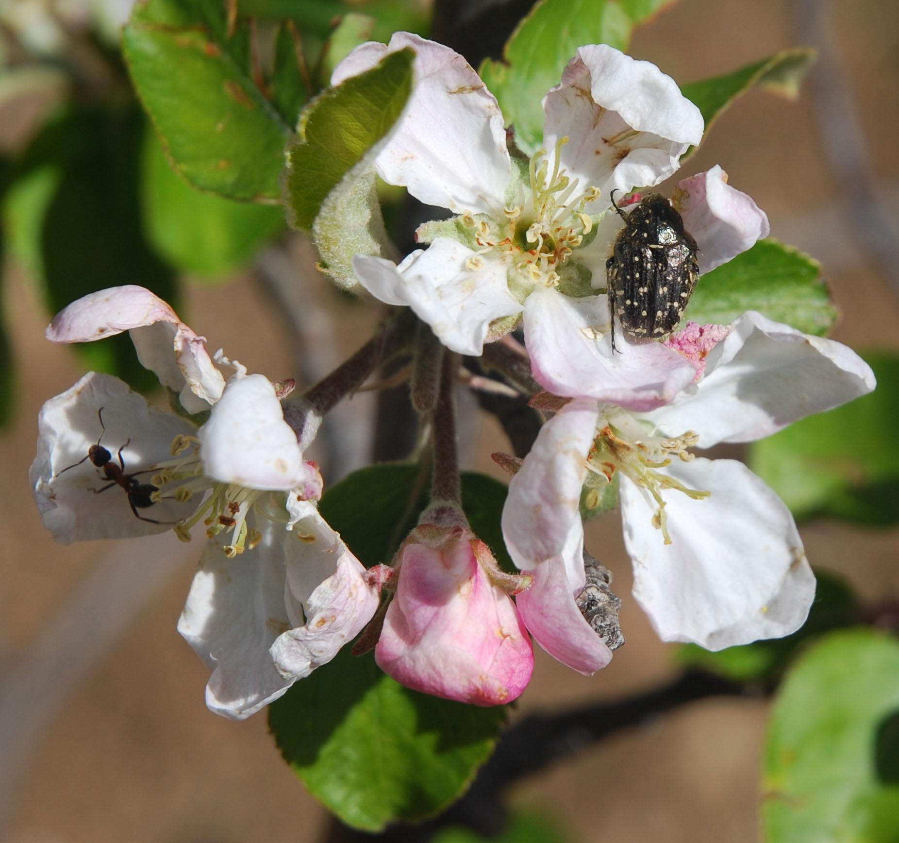 Photo d'insectes sur fleurs de pommier : fourmi et coléoptère Drap mortuaire