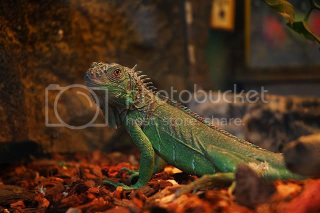 Exotic animals at Las Ramblas: Iguana