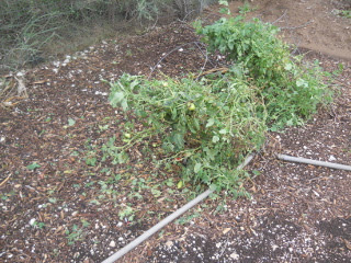 Tomatoe Plants Storm Damage