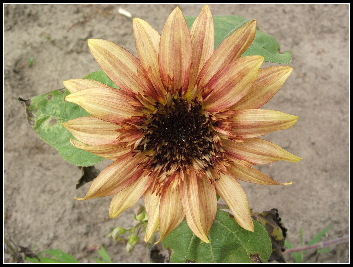 Starburst Sunflowers by Angie Ouellette-Tower for godsgrowinggarden.com photo 018_zps66cc262b.jpg