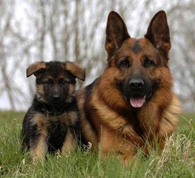 El perro Pastor Aleman y su salud
