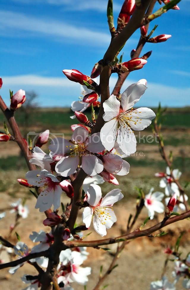 Almond Tree Flowers for Easter Holidays