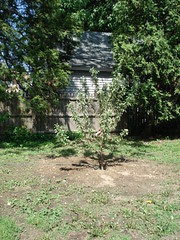 The new tree!