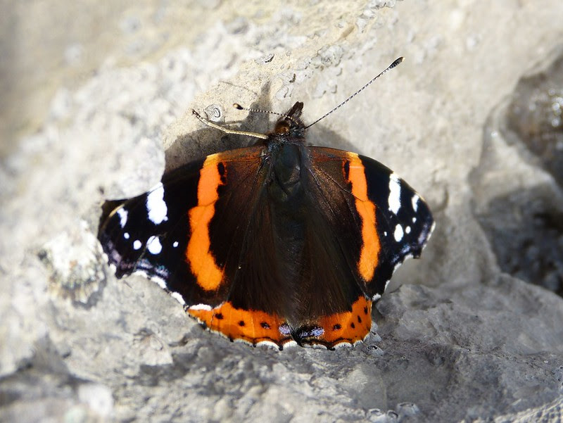 28789 - Red Admiral, Mumbles