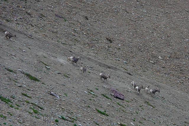 P1160604 Bighorn Sheep