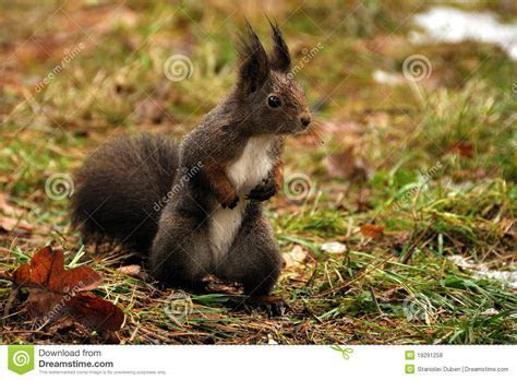 Brown Squirrel Royalty Free Stock Photos   Image: 19291258