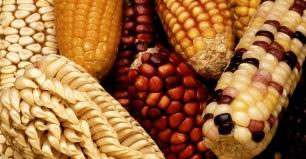 Agricultura y alimentación sin transgénicos