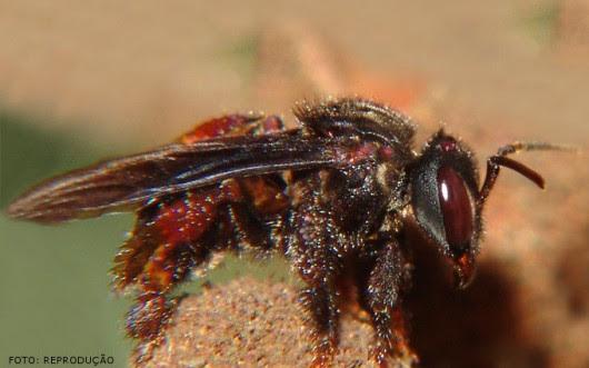Abelhas sem ferrão - Irapuã (Trigona spinipes)